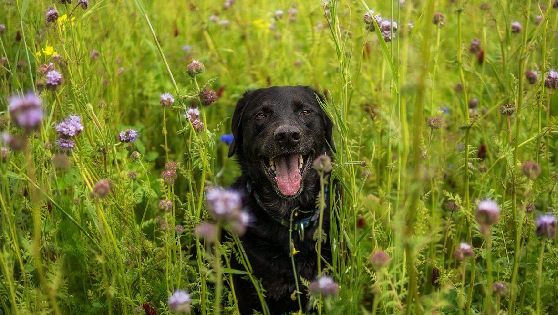 Canine Addisons Disease