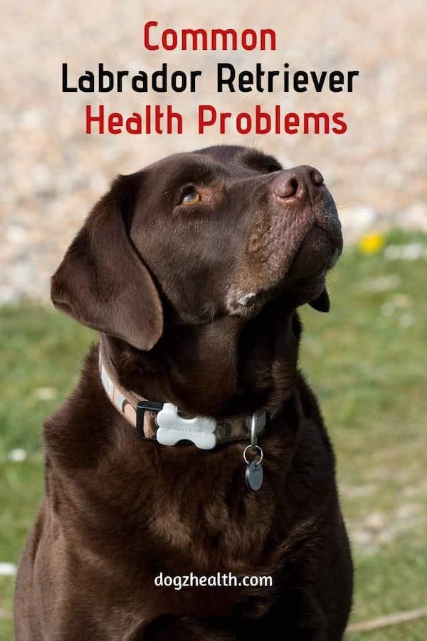 Common Labrador Retriever Health Problems