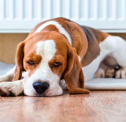 Blood in Dog Urine