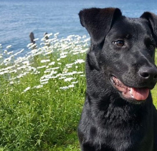 Canine Autoimmune Hemolytic Anemia