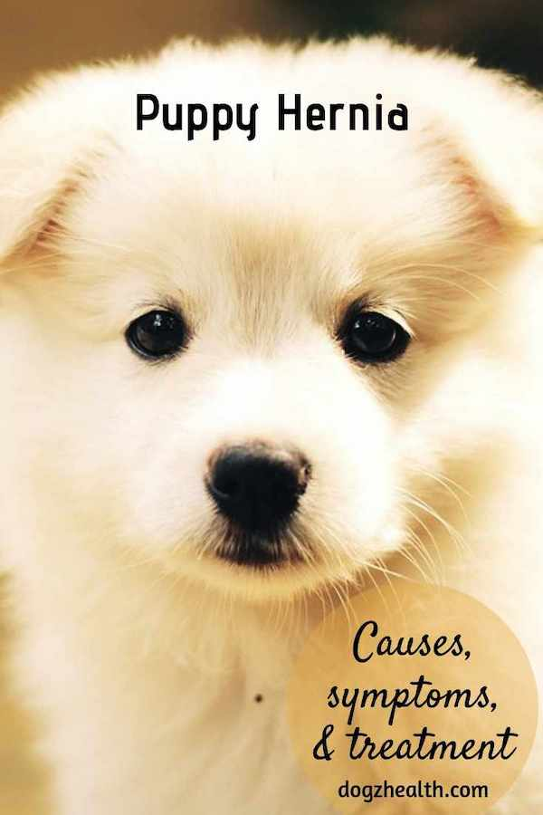 Treating Puppy Hernia