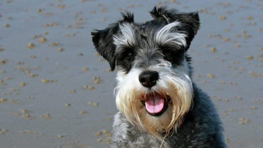 Pancreatitis in Dogs