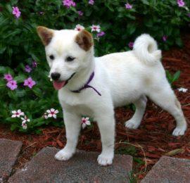 Inflammatory Bowel Disease in Dogs (Canine IBD)